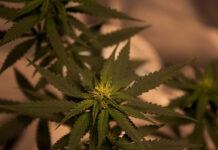 Najpopularniejsze kolekcjonerskie nasiona marihuany