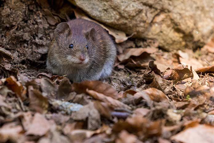 Trzy oznaki wskazujące na obecność szczurów w domu